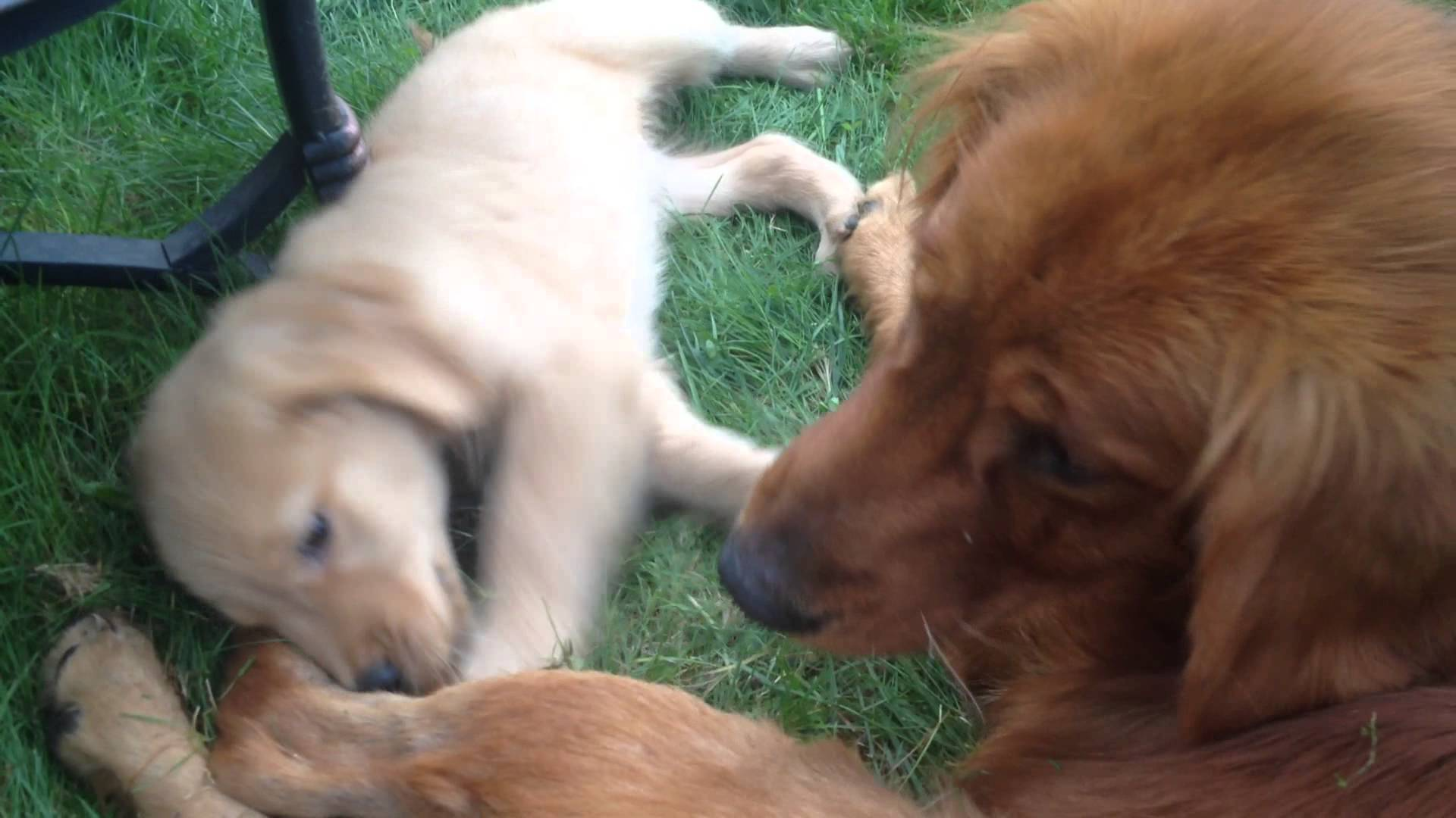 Golden Retriever Puppy Playing with his Mom's Tail